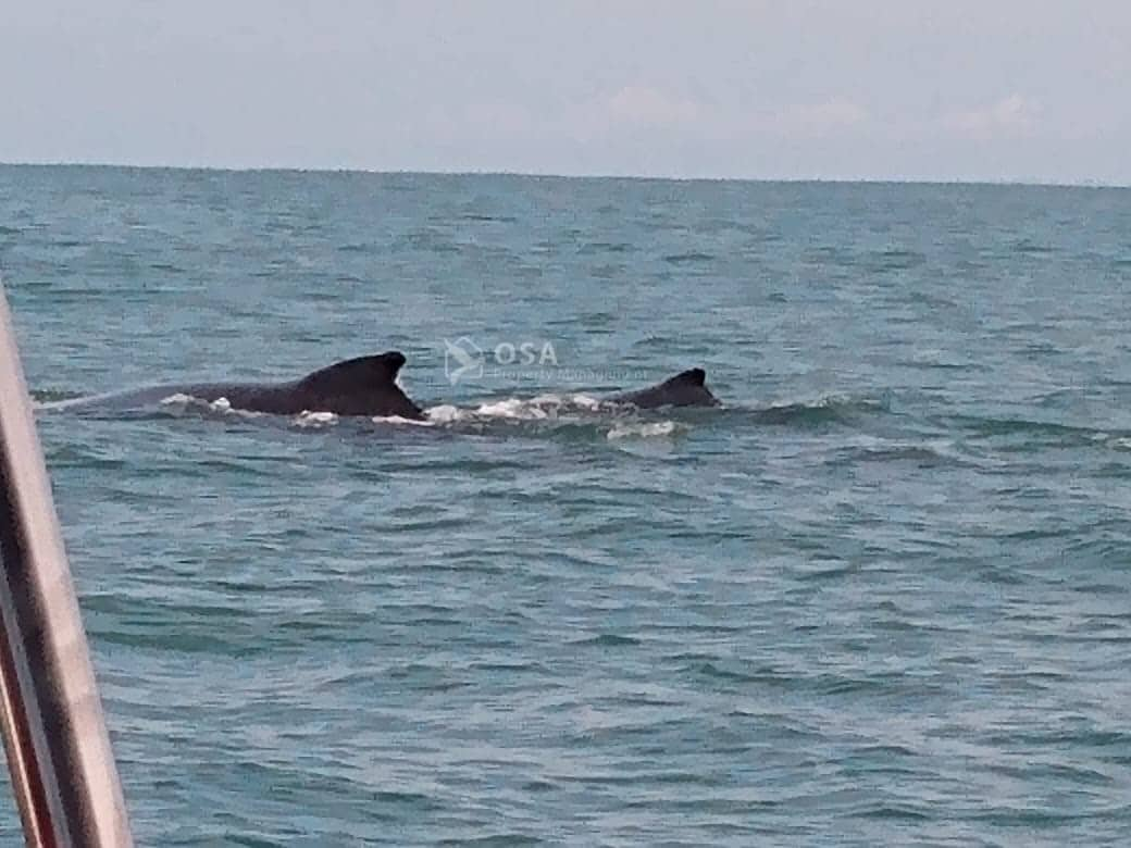 uvita whale watching tour mother calf
