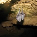 Hibernujúce netopiere