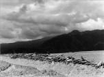 Magueyes acostados y montaña. 1970