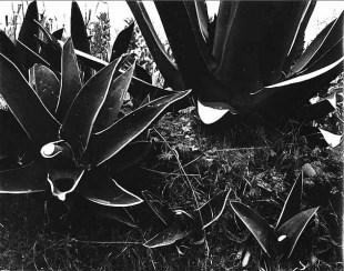 Magueyes heridos. 1950