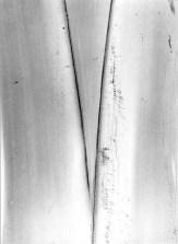 Manuel Álvarez Bravo. Plátano, planta, (1974)