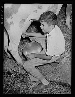 Sheldon Dick. Maytown vicinity Lancaster County, Pennsylvania. Jay Reich Jr. milking on the farm of FSA (Farm Security Administration) client Jay Reich