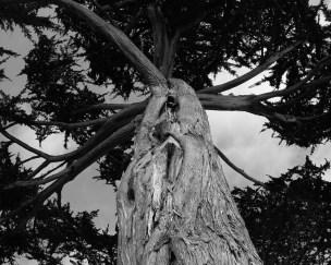 AnselAdams-Tree
