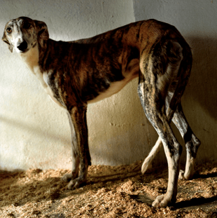 © Alfredo Cáliz. España (12/2004) La Mancha. Argamasilla de Alba. Greyhound in the kennel.