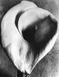 012_Tina Modotti, Calla, 1925