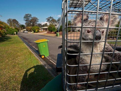 "Joel Sartore ""Koalas Under Siege"""
