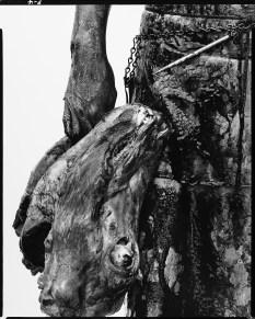 Steer, Omaha, Nebraska, 1979