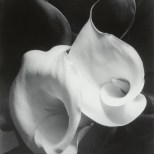 Imogen_cunningham_plantas_ALCATRACES_1929