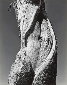 Pine, Lake Tenaya, Yosemite National Park, 1937