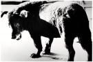 Daido Moriyama. Perro callejero. ¿Quién que haya visto esta foto puede volver a imaginar igual a un perro negro?
