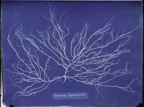 Ocean Flowers- Anna Atkins's Cyanotypes of British Algae5