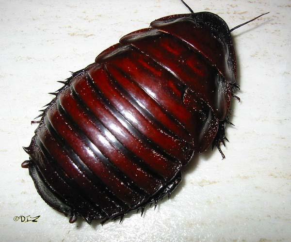 macropanesthia_rhinoceros_1.jpg