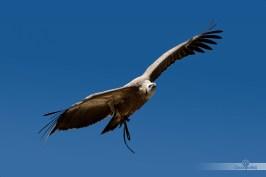 Buitre-en-vuelo