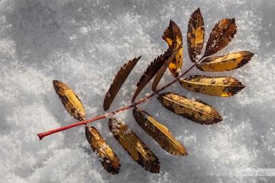 Sorbus aucuparia (serbal de los cazadores o Capudre)