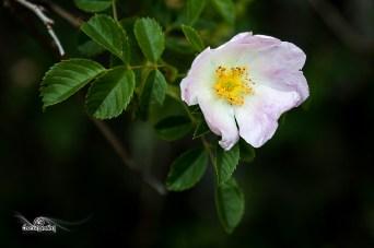 Rosa arvensis (Escaramujo o rosal silvestre)
