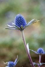 Eryngium bourgatii (Cardo azul)