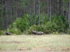 osceola-florida-turkey-hunting-007