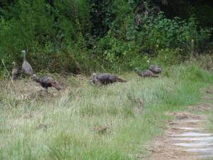 osceola-florida-turkey-hunting-010