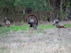 osceola-florida-turkey-hunting-023