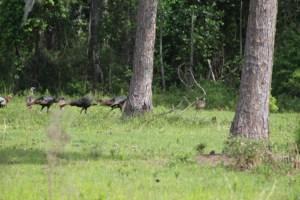 Tom's - Osceola Turkey Hunts