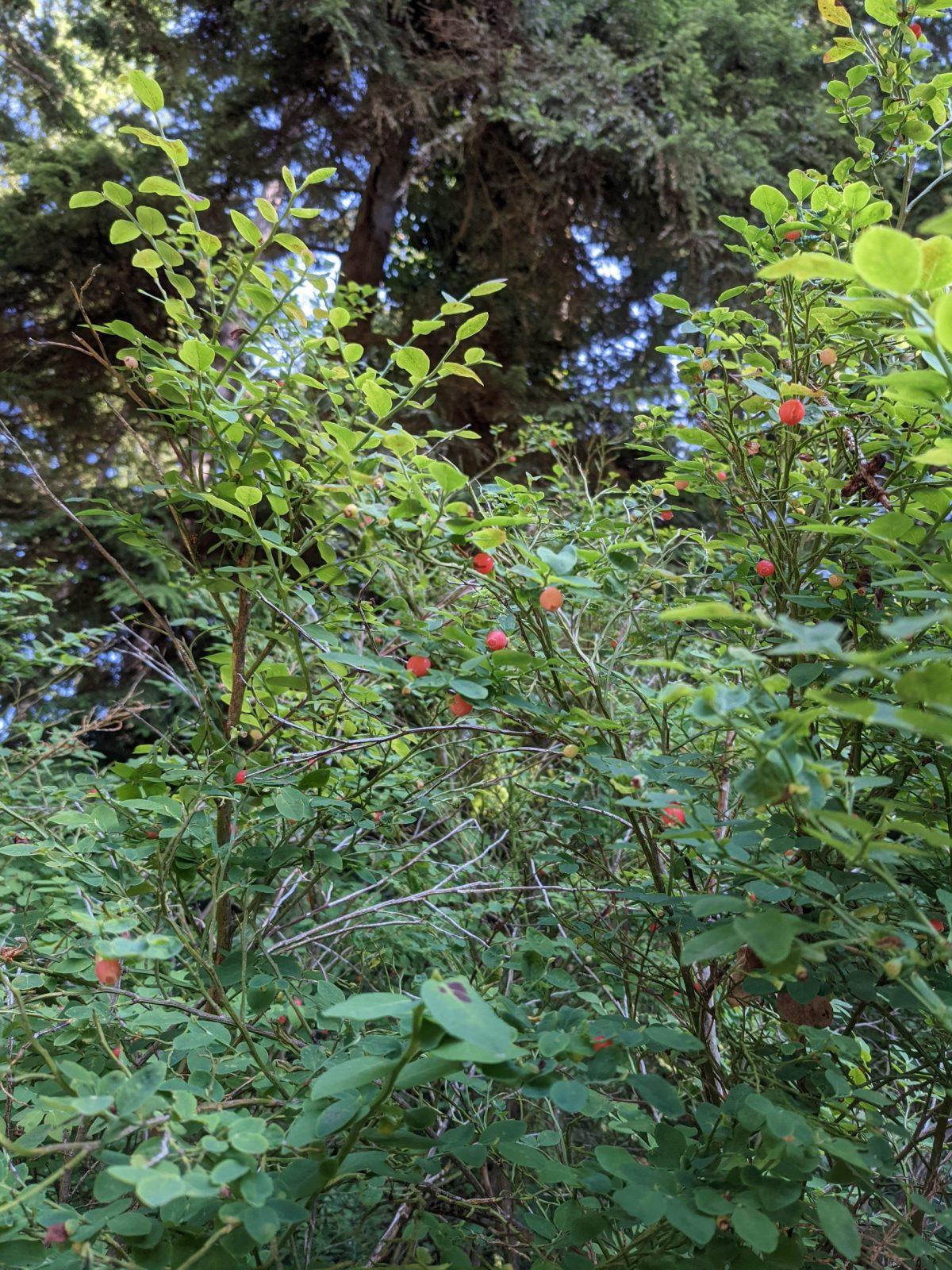Red Huckleberries