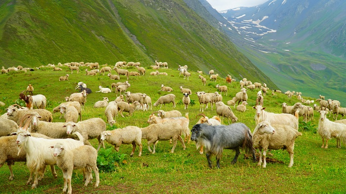 Field in the mountains and sheep