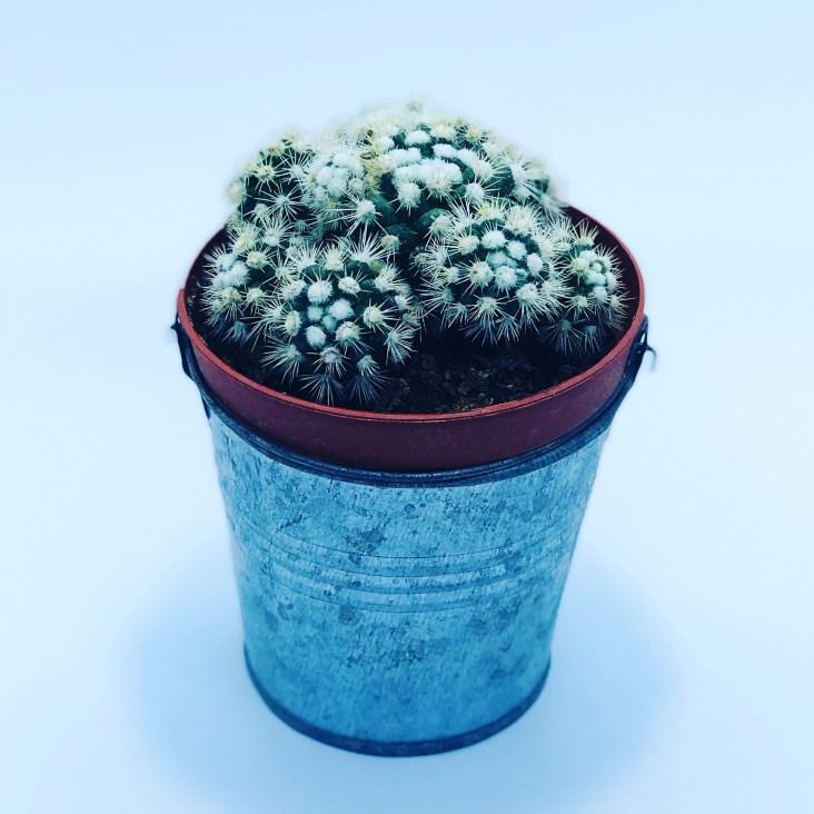 Cactus neige