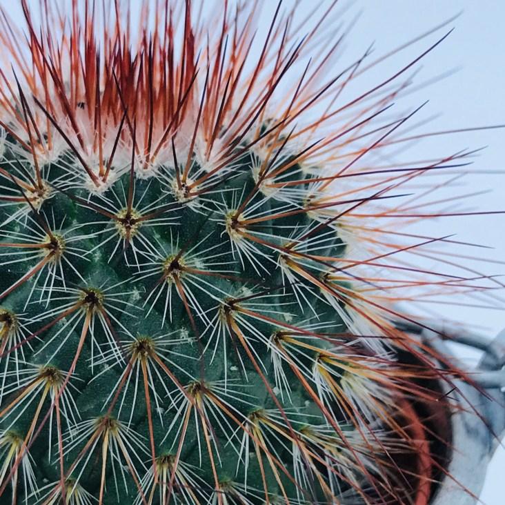 Cactus oursin aux épines rouges