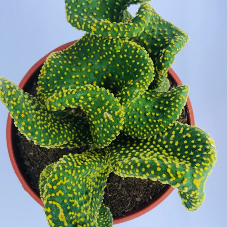 Cactus opuntia cylindrica cristata