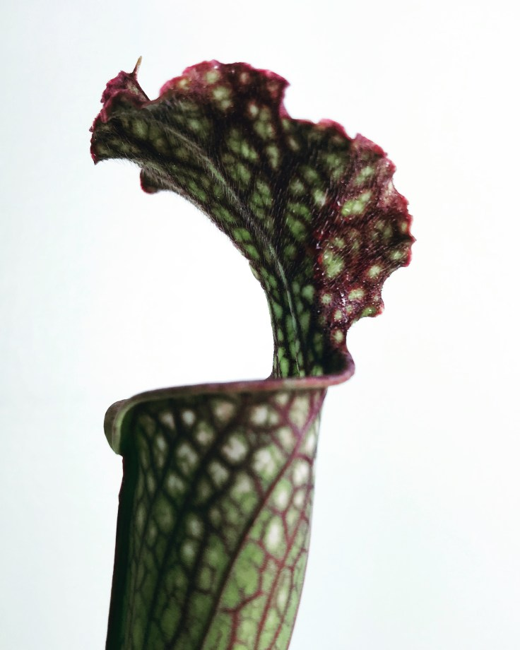 Sarracenia Farnhamii