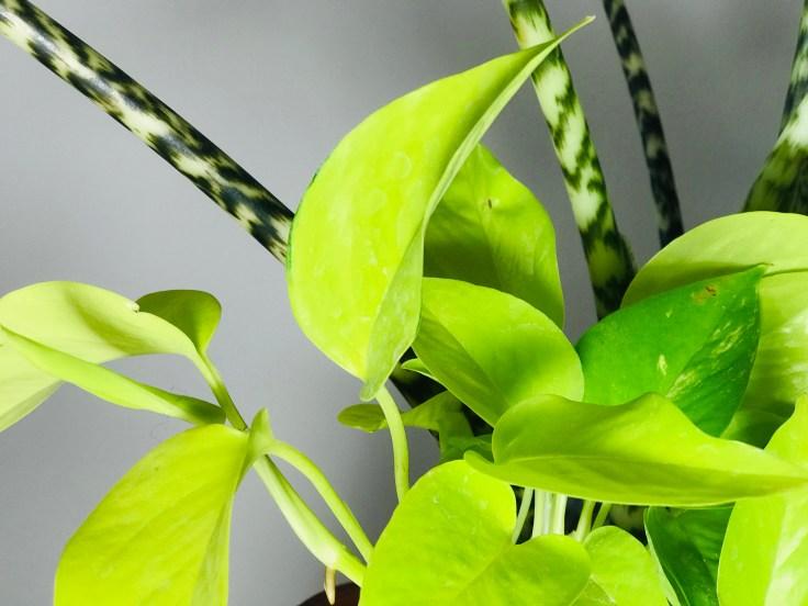 Pothos neon Scindapsus aureum  Epipremnum