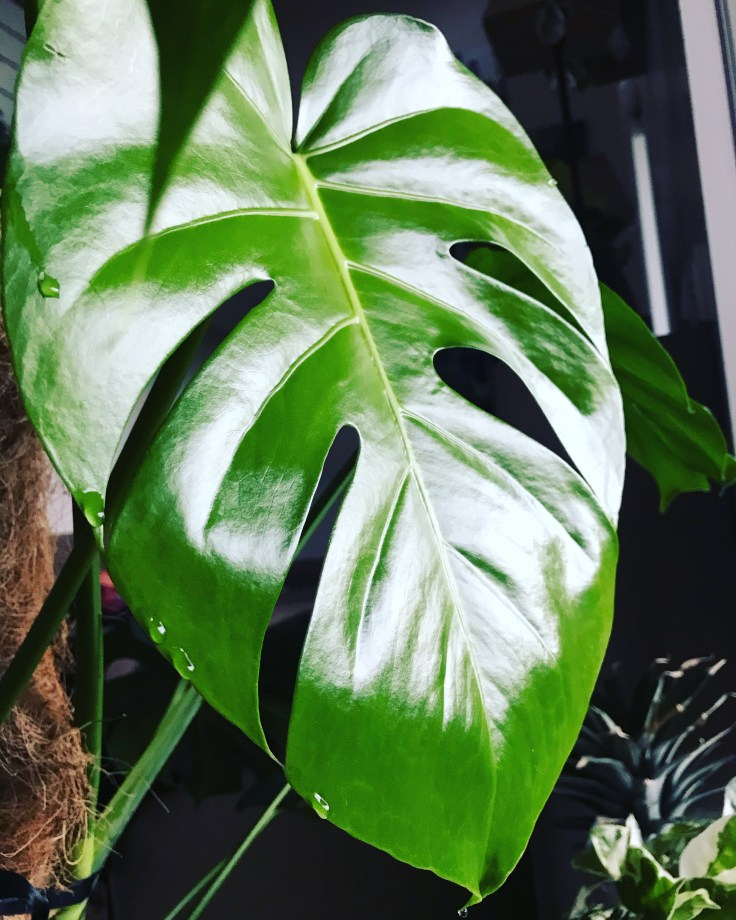 Monstera guttation