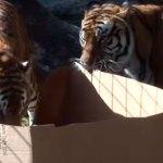 Grandes gatos também gostam de caixas