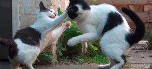 Briga de gatos. Comportamento