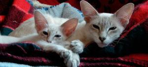 Gato javanês