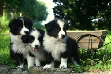 #1 Border Collie Puppies