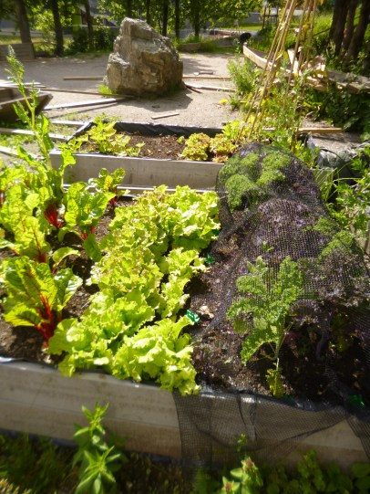 Kale, Lettuce and Chard