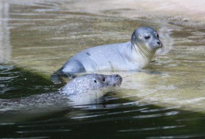 Seit Freitag erkundet Seehundjungtier Fenja ihr Zuhause im Osnabrücker Zoo – immer mit dabei: Mutter Biene. Foto: Zoo Osnabrück (Svenja Vortmann)
