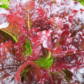 'Outredgeous' Lettuce. Photo: Karen Morton / Wild Garden Seeds