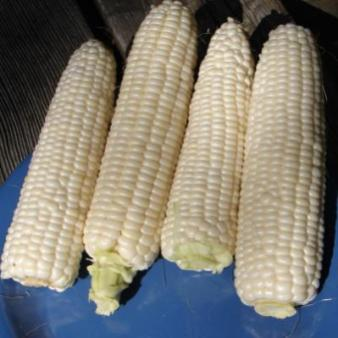 'Tuxana' Sweet Corn. Photo: Jonathan Spero / Lupine Knoll Farm