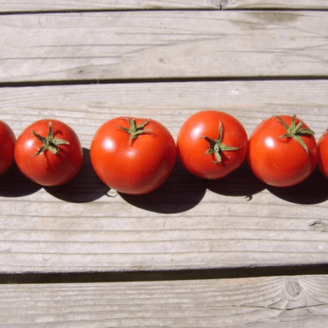 'Perfect Rogue' Tomato. Photo: Adaptive Seeds