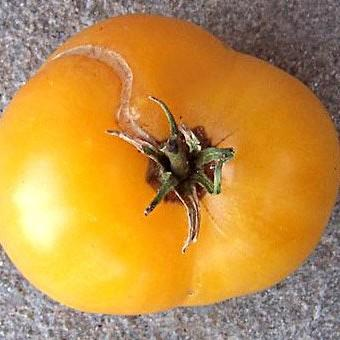 'Dwarf Orange Cream' Dwarf Tomato. Photo: Patrina Nuske Small