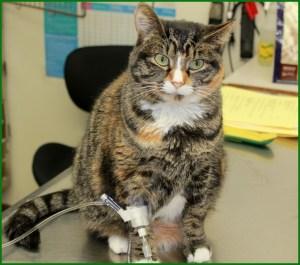 pretty calico cat hooked up to i.v. at osseo veterinary clinic in osseo wisconsin