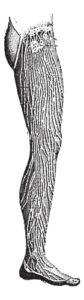 Lipedema - Lymphatic Vessels of the Leg, vintage engraved illustration.