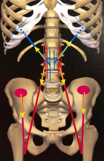 mal di schiena, ileo psoas e colon irritabile - Osteopata..