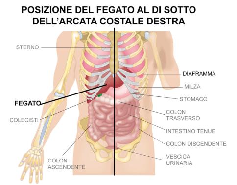 simonetta alibrandi osteopata posizione del fegato sotto il diaframma