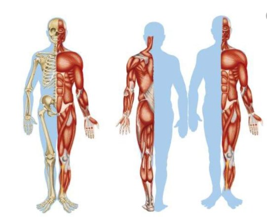 simonetta alibrandi osteopata posturologo sistema muscolo scheletrico postura