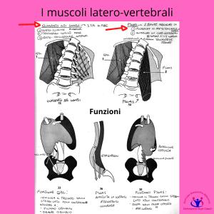 simonetta alibrandi osteopata posturologo roma mal di schiena ernia protrusione postura corretta colonna vertebrale lombosciatalgie I muscoli altero vertebrali del tronco