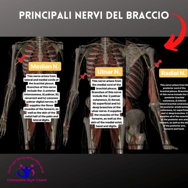 simonetta-alibrandi-osteopata-Principali-nervi-del-braccio.