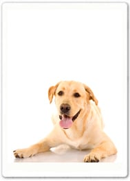 Charlie (Labrador) Corbett